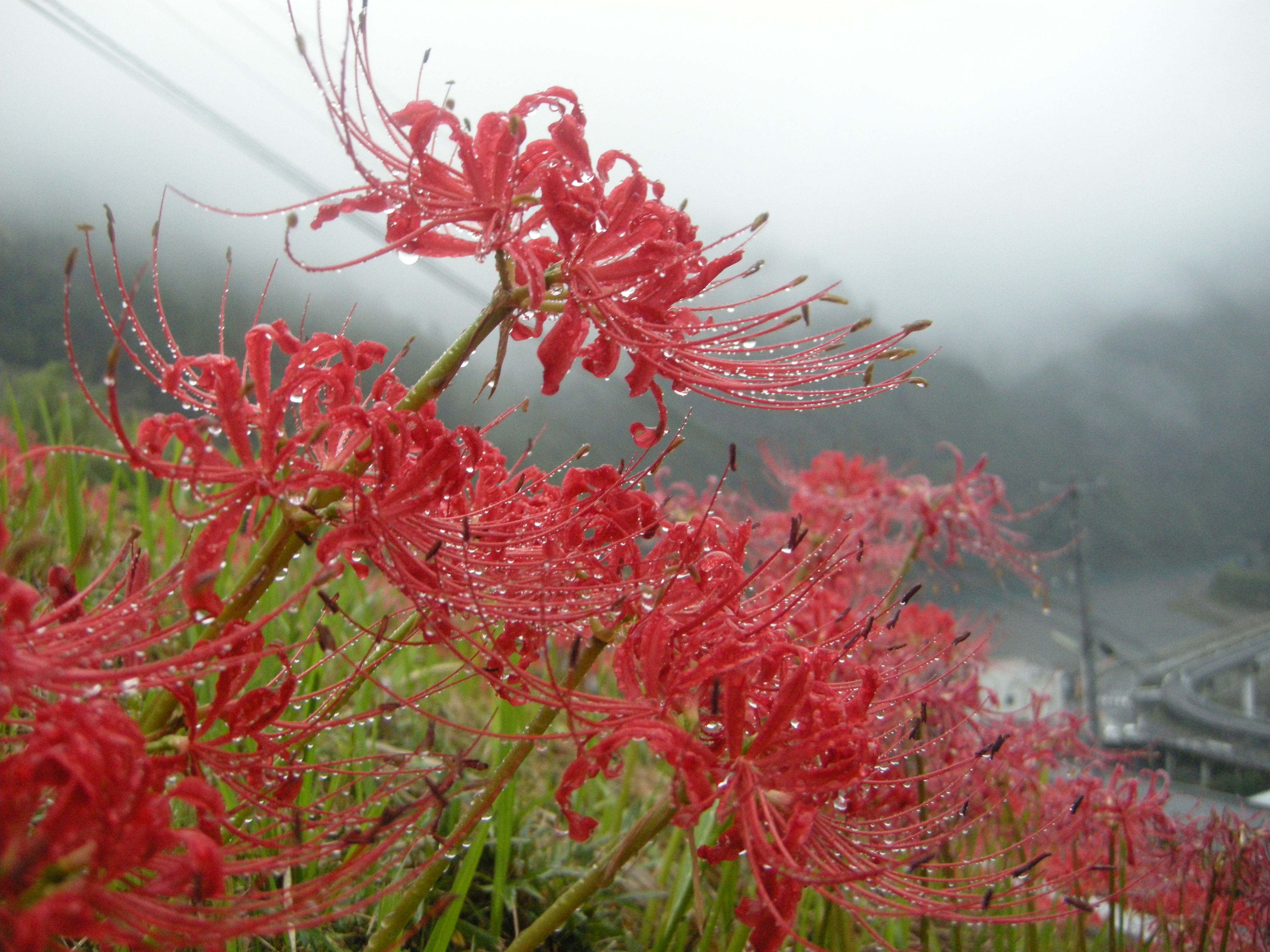 Spider lilies in heaven spider lilies outside the home of the graceless gaijin in totsukawa this past october izmirmasajfo